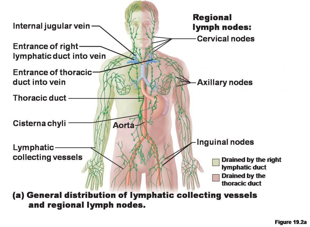اماكن الغدد اللمفاوية في الجسم
